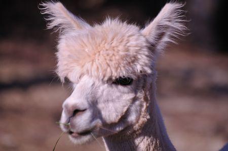 munching: Alpaca Munching Stock Photo