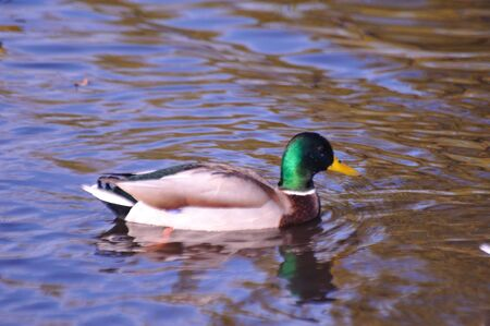 Mallard Duck - Fall Reflections