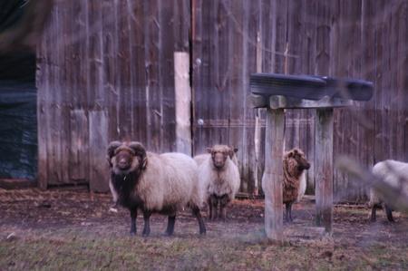 Soft Blended Ram & Ewes Sheep