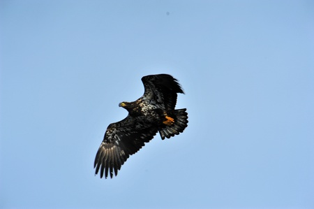 Young Bald Eagle in Flight