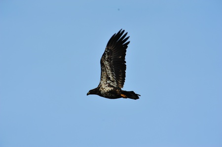 Young Bald Eagle In Flight - Side View