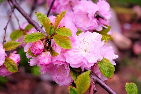 Pink China Rose Tree Close-up in Spring