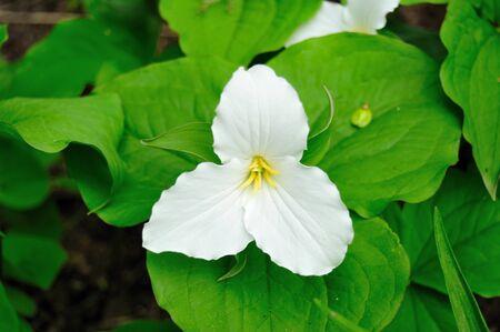 trillium: Trillium Grandiflorum Wildflower in Spring - Close-up Stock Photo