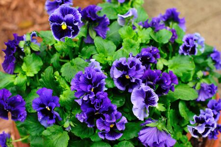Pansy - Purple Ruffles in Spring - Close-up Stock Photo