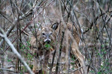 Deer in Camouflage - Peering at Photographer Stock Photo