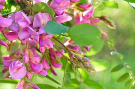 Pea Rose Side Cluster - Robinia Kelseyi - Chester Creek, Wisconsin - Horizontal Stock Photo