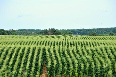 corn rows: Brilliant Green Corn Rows in Full Tassle
