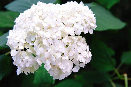 Ouderwetse Hydrangea bloem close-up