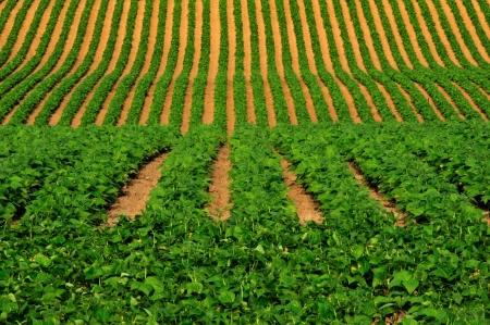 Sculptured Soybean Rows in Wisconsin