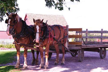 Beautiful Belgian Horse Team in Cashton, Wisconsin Stock Photo