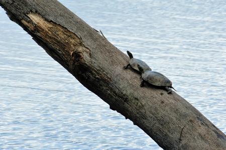 Modder Schildpadden zonnen kunnen aanmelden via Wisconsin River Slough Stockfoto