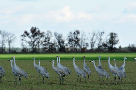 Sandhill Cranes Getting Ready to Leave - Fall in Wisconsin Stock Photo