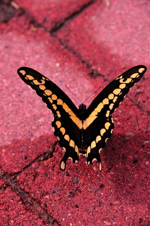 Butterfly - Swallowtail Stock Photo