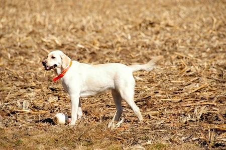 Yellow Labrador - Bowling Winnaar