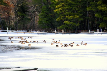 Winter Beaches for Canadian Geese in Wisconsin