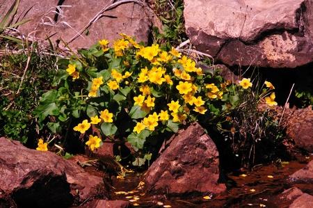 Wildflower Marsh Marigold on Creek in Wisconsin photo