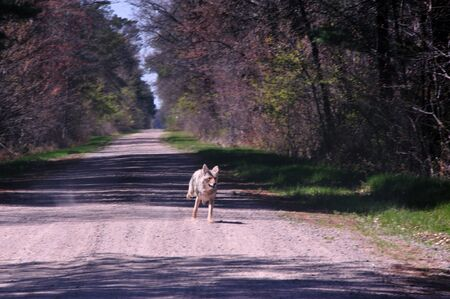 Coyote on Back Road in  Wisconsin photo
