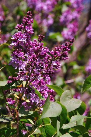 Close-up of Lilac in the Wild in Wisconsin Stock Photo