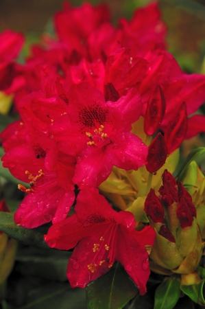 Bright Red Rhododendron - Close-up