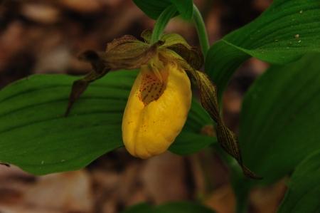 Wildflower - Geel Ladyslipper - Cypripedium calceolus - Gills Rock, Wisconsin - Horizontale