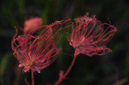 Wildflower - Prairie Smoke Double Flower Close-up - Geum Triflorum - in Wisconsin