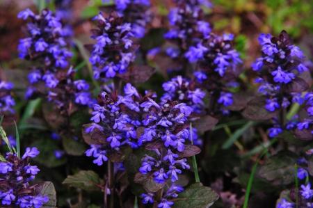 Wildflower - Ground Ivy-Glechoma Hederacea - in Wisconsin