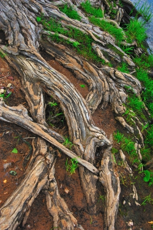 Ancient Thirsty Tree Roots along the Wisconsin River Shore, Wisconsin Stock Photo - 14087229