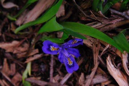 versicolor: Wildflower - Blue Flag Iris - Iris Versicolor - Door County, Wisconsin
