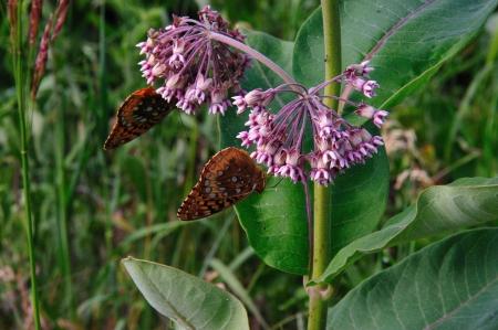 Wildflower - Gemeenschappelijke Milkweed bloem-Asclepias syriaca Grote Spangled Fritillary Vlinder - Landelijk Wisconsin Stockfoto