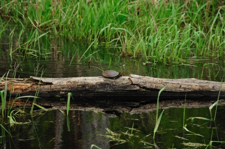 Painted Turtle Reflection in Buckhorn State Park, Wisconsin  Chrysemys picta  Stock Photo