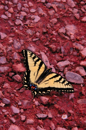 mottling: Yellow Swallowtail Butterfly on Gravel Edge of Wisconsin River, Wisconsin Stock Photo
