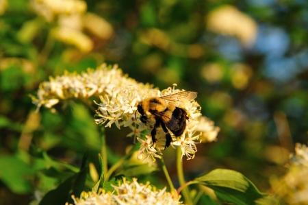 Bumblebee nippen nectar van Red Osier Dogwood in Wisconsin Stockfoto