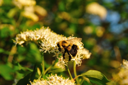 Bumblebee Sipping Nectar of Red Osier Dogwood in Wisconsin photo