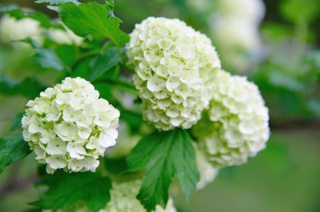 old fashioned: Flower - Old Fashioned Snowball Bush in Bloom -  Viburnum opulus - Roseum in Wisconsin