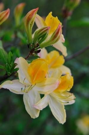 Bloem - Noord-Lemon Lights Azalea Blossom in Wisconsin