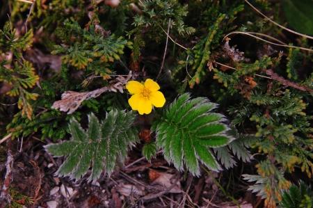 Wildflower - Zilver Weed - Argentinië anserina - Potentilla in Door County, Wisconsin Stockfoto