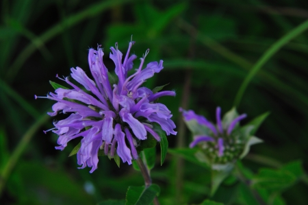 Wildflower - Bee Balm - Wild Bergamot - Monarda fistulosa - in Wisconsin