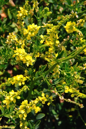 Wildflower - Yellow Sweet Clover - Melilotus officinalis -  in Wisconsin