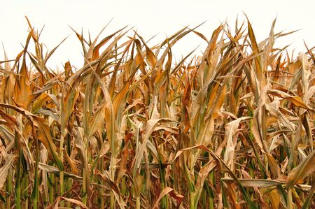 Farm - Corn Drought in Wisconsin - Horizontal Stock Photo