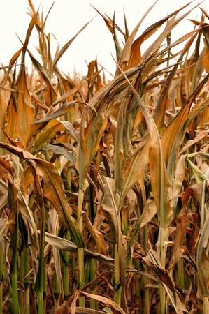 Farm - Corn Droogte in Wisconsin - Verticale