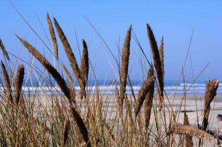 fluffy tuft: Sea Grass at Stonefield Beach, Oregon