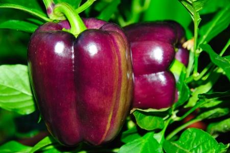 Bright Purple Pepper Duo in Wisconsin