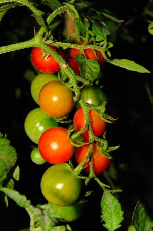 Beautiful Young Cherry Tomato Cluster in Wisconsin Stock Photo