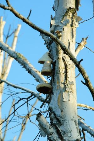 bell shaped: Bell Shaped Fungus on Birch Tree in Necedah Wildlife Refuge, Wisconsin Stock Photo