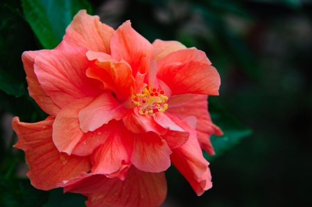 Gorgeous Double Peach-Pink Azalea in Wisconsin