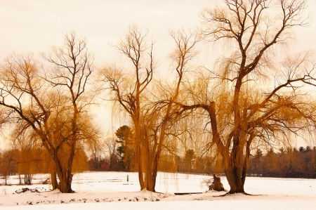 Yellow Willows in Cold Wisconsin Winter photo