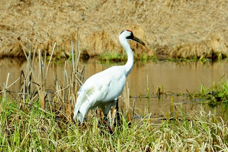 Close-up of Banded White Whooping Crane in Necedah Wildlife Refuge, Wisconsin Stock Photo