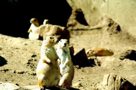 Prairie Dog Couple on Alert in Wisconsin  Stock Photo