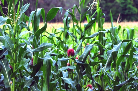Corn With Bright Red Tassel in Wisconsin
