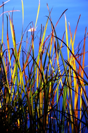 cattails: Fall Sunset on Cattails at Chester Creek, Wisconsin